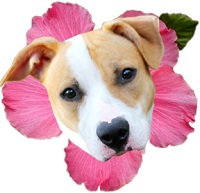 Pit Bull with Pink Flower