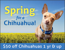 webad-spring-chihuahua.jpg